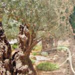 El Mejor Olivo Monumental de Madrid, un ejemplar de 300 años
