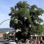 La Olma de Guadarrama, candidata a Árbol Europeo 2016