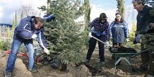 50 árboles que han adornado edificios oficiales, donados para su replantación.
