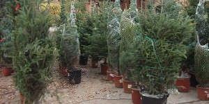Replantación árboles de Navidad