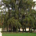 El Ahuehuete de El Retiro, el árbol más longevo de Madrid