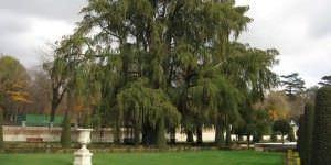 Ahuehuete, árbol más viejo de Madrid