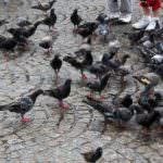 Palomas en el medio urbano