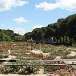 Concurso Popular Rosa de Madrid en el Parque del Oeste