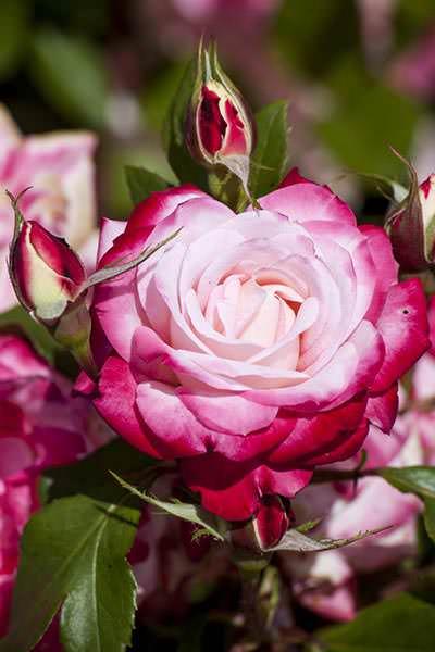 Concurso de Rosas en la Rosaleda del Parque del Oeste