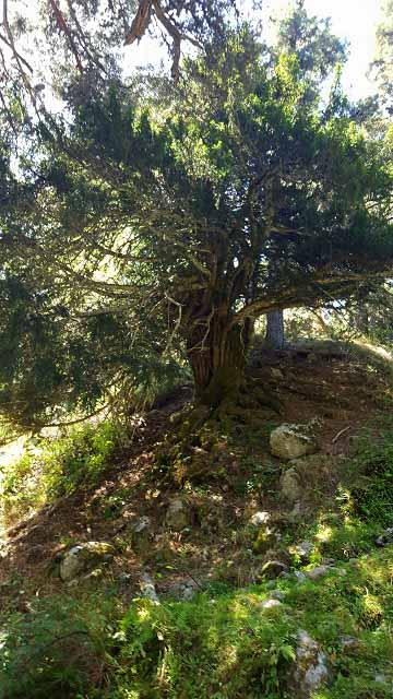 Tejo de barondillo tronco
