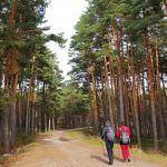 Entre pinares en Cabeza Reina