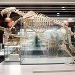 Primera muestra sobre los tigres dientes de sable en el Museo Arqueológico Regional