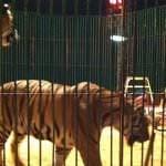 No se autorizarán circos con animales salvajes en sus espectáculos
