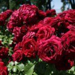 El Concurso de Rosas 'Villa de Madrid' del Parque del Oeste se aplaza a octubre