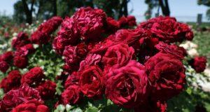 concurso rosas villa madrid rosaleda parque oeste