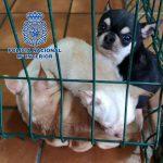 Desmantelados en Madrid dos criaderos ilegales de chihuahuas